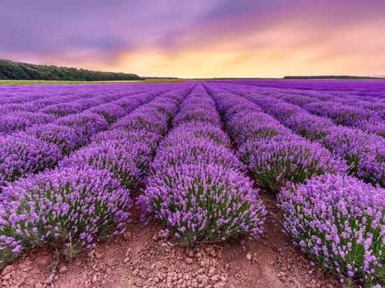 França - Campo de Lavanda na Provence